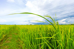 Rice fields. Young rice soon will be ready to harvest Royalty Free Stock Photos