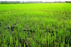 Rice filed Stock Image