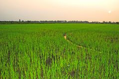 Rice filed Stock Images