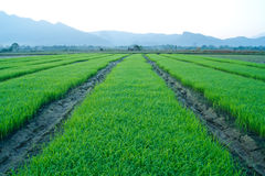 Rice filed Stock Photo