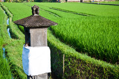 Rice filed Royalty Free Stock Photography