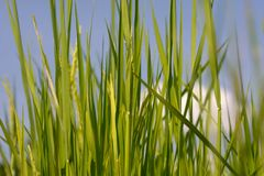 Rice filed Royalty Free Stock Image