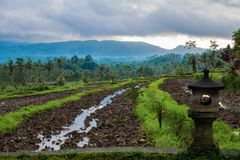 rice filed in bali, asia royalty free stock images