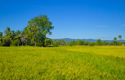 Rice filed at Cambodia , Asia Stock Images