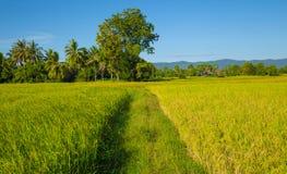 Rice filed at Cambodia , Asia Stock Image