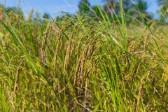 Rice filed at Cambodia , Asia Royalty Free Stock Photo