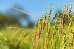 Rice filed at Cambodia , Asia Royalty Free Stock Photos