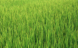 Rice filed Stock Photography