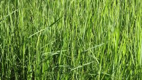 Rice filed stock footage
