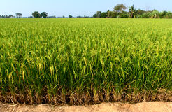 Rice Filed. Rice in the filed for harvest royalty free stock photography