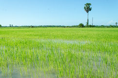 Rice filed and palm tree Royalty Free Stock Image