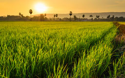 Rice filed and sugar palm tree Royalty Free Stock Photos