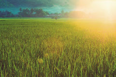Rice filed with sun flare Royalty Free Stock Photography