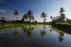 Rice filed at sunrise on Bali.  Royalty Free Stock Photography
