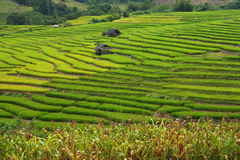 Rice filed terrace in harveat season. At Mea Chaem, Thailand royalty free stock images