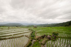 Rice filed terrace in harvest season. Royalty Free Stock Image