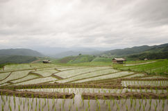 Rice filed terrace in harvest season. Royalty Free Stock Images