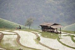 Rice filed terrace in harvest season. Stock Photos