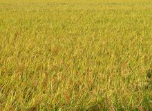 Rice filed texture Royalty Free Stock Photo