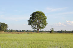 Rice filed and tree Stock Photo