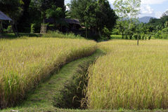 Rice filed and walk way Royalty Free Stock Photography