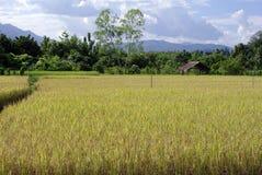 Rice filed and walk way Stock Photos