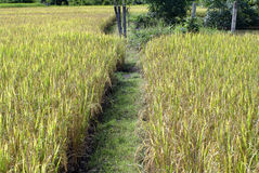 Rice filed and walk way Stock Photo