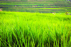 Rice fileds terraces with fresh green rice in Jatiluwih, Bali, I Royalty Free Stock Photos