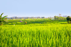 Rice fileds terraces with fresh green rice in Jatiluwih, Bali, I Stock Images