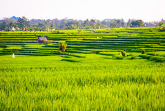 Rice fileds terraces with fresh green rice in Jatiluwih, Bali, I Royalty Free Stock Image