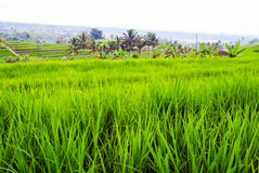 Rice fileds terraces with fresh green rice in Jatiluwih, Bali, I Stock Photo