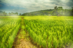 Rice flied. Rice fiied on the morning in MaeCham, ChiangMai, Thailand beautiful green everywhere Stock Image