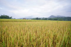 Rice  flied in Thailand. Rice on nateral Royalty Free Stock Images