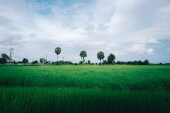 Rice flied in thailand with three sugar palm royalty free stock image
