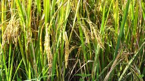 The rice flower on the field. Closeup, the rice flower on field at mekong delta, Vietnam stock video footage
