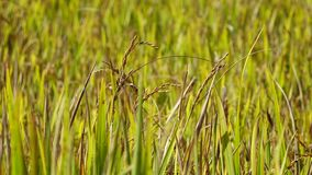 The rice flower on the field. Closeup, the rice flower on field at mekong delta, Vietnam stock footage