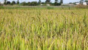 The rice flower on the field. Mekong delta, Vietnam stock footage