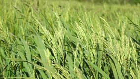 The rice flower on the field. In mekong delta, Vietnam stock footage