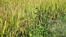 The rice flower on the field. Mekong delta, Vietnam. ( slow motion stock footage