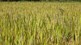The rice flower on the field stock video