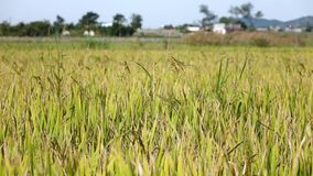 The rice flower on the field stock footage