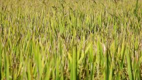 The rice flower on the field. In Vietnam stock footage