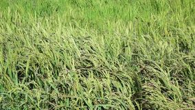 The rice flower on the field. Wind, The rice flower on the field, mekong delta, Vietnam. ( slow motion stock footage