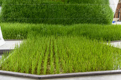 Rice flowerbed at Rice Cluster , EXPO 2015 Milan Stock Photography