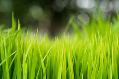 Rice. Fresh green Rice with dew drops closeup. Soft Focus. Stock Photography