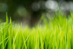 Rice. Fresh green Rice with dew drops closeup. Soft Focus. Stock Photos