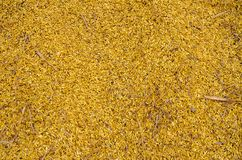 Rice golden royalty free stock image