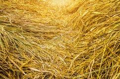 Rice golden royalty free stock photo