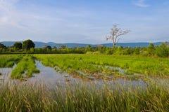 Rice gospodarstwo rolne Obrazy Royalty Free