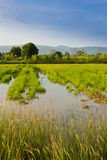 Rice gospodarstwo rolne Zdjęcia Stock